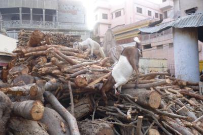 バラナシ火葬場のヤギ