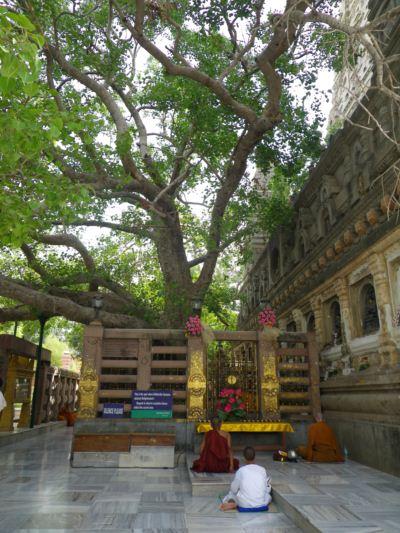 ブッダガヤ菩提樹