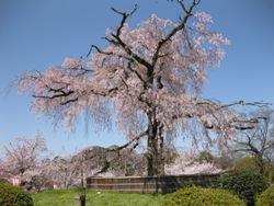 円山公園 しだれ桜