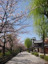 祇園白川 柳と桜