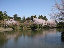 龍安寺 鏡容池 桜