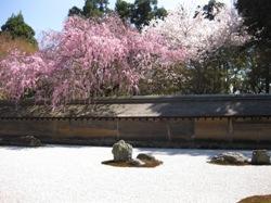 龍安寺 石庭 桜