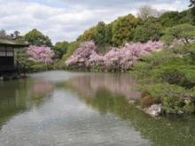 平安神宮 池右 桜