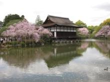 平安神宮 池左 桜