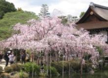 平安神宮 紅枝垂桜