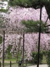 平安神宮 松と桜