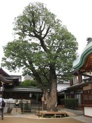 晴明神社ご神木