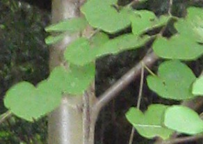 愛の木 梨木神社 葉