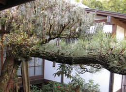 松と槇 宿り木