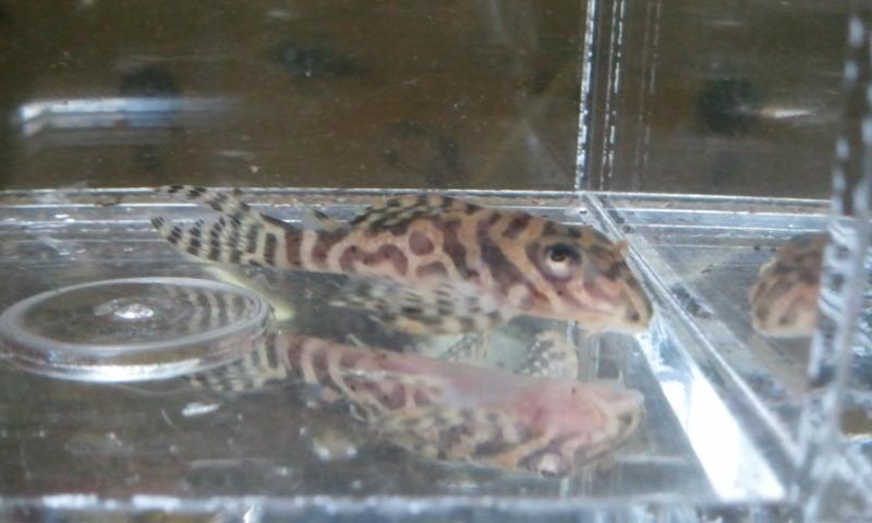 シングー、ベロモンテ L399 ゴールデンタイプ ゴールデンニューメガクラウン東海 岐阜 熱帯魚 水草 観葉植物販売 Grow aquarium