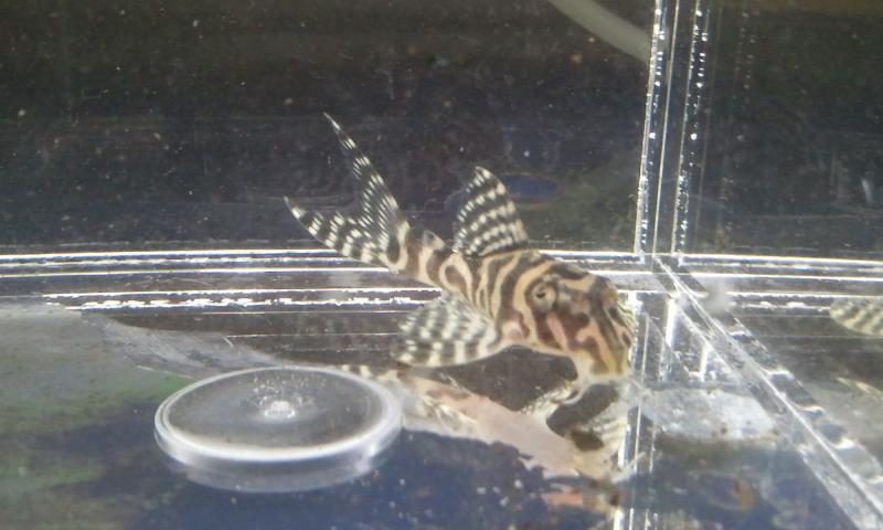 シングー、ベロモンテ L399 ゴールデンタイプ 東海 岐阜 熱帯魚 水草 観葉植物販売 Grow aquarium