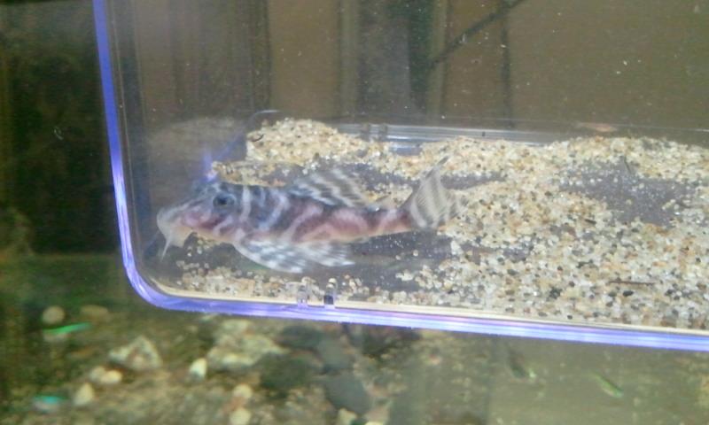 シングー ポルトデモス ロイヤルゼブラ 東海 岐阜 熱帯魚 水草 観葉植物販売 Grow aquarium