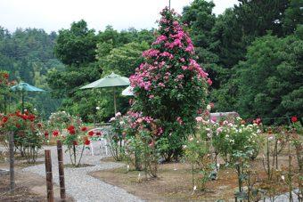 香美町中央ピンク