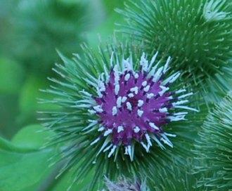 牛蒡の花は紫色