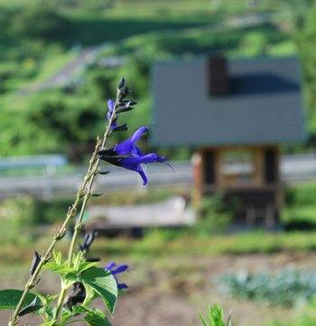 ばあちゃん畑から紫