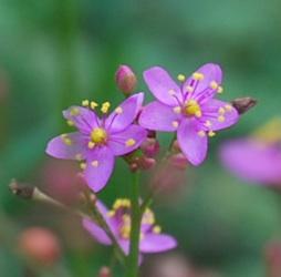 ピンクの小さな花