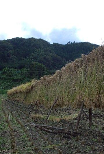 稲刈り稲木