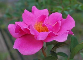 1010薔薇