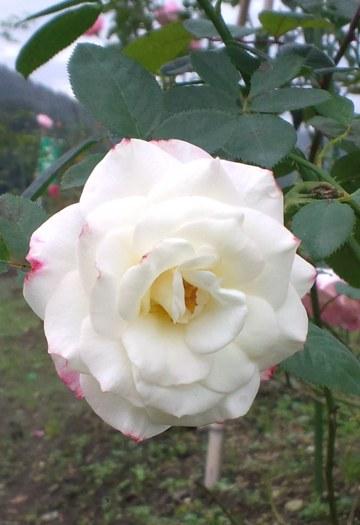 1016白いバラ
