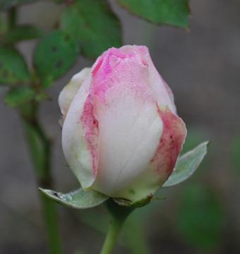 1014つぼみ白ふちピンク