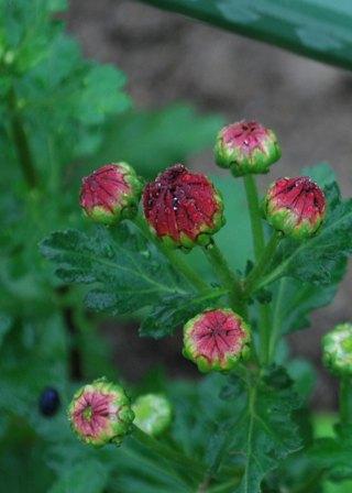 小菊 赤 つぼみ