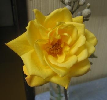 アンネのバラが黄色