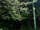 アコード ACCORD 四輪 ドライブ 桜 夜