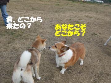 チョコ柴犬さん