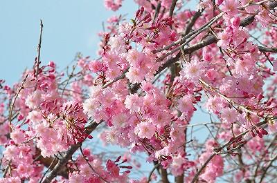お花見☆羽村堰