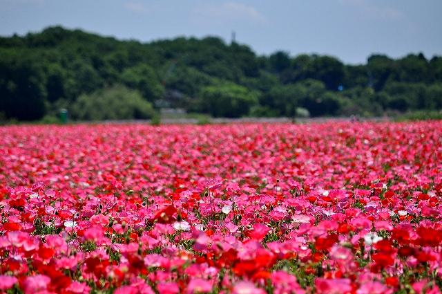 鴻巣市のポピー畑