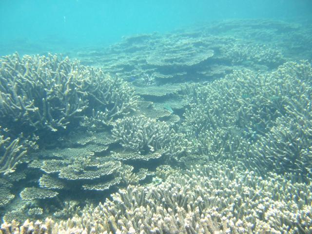 海の中 ミドリイシ