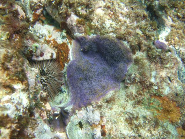 紫色の コモンサンゴ♪