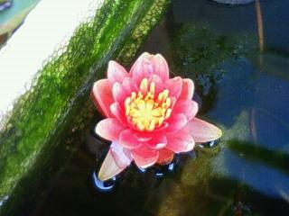 リトルスー 開花