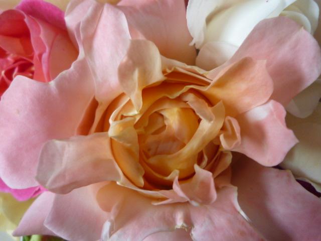ウチのバラ。