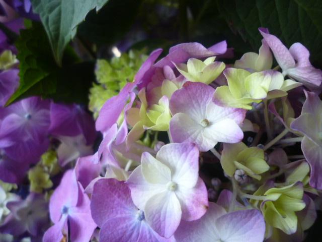 ピンク系の あじさい。 のちに 紫に。。
