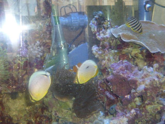 ミスジチョウの サンゴ攻撃!