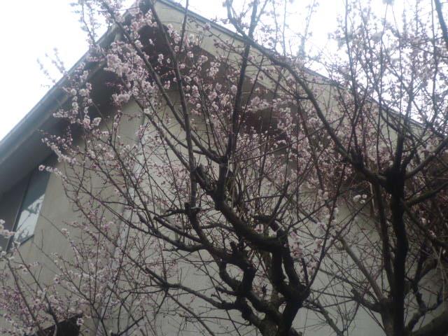 北側の庭の 梅。
