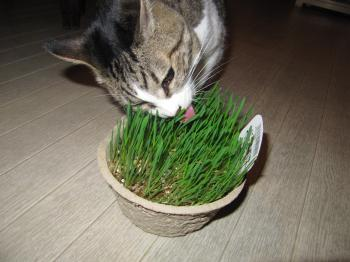 猫草3.jpg