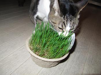 猫草2.jpg