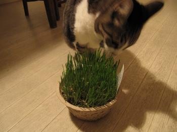 猫草1.jpg