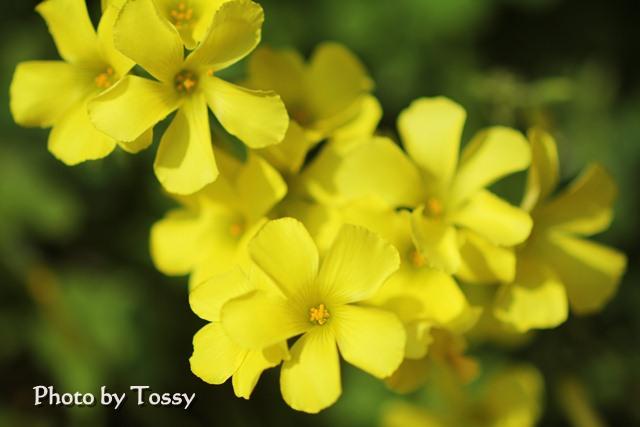オキザリス 黄色