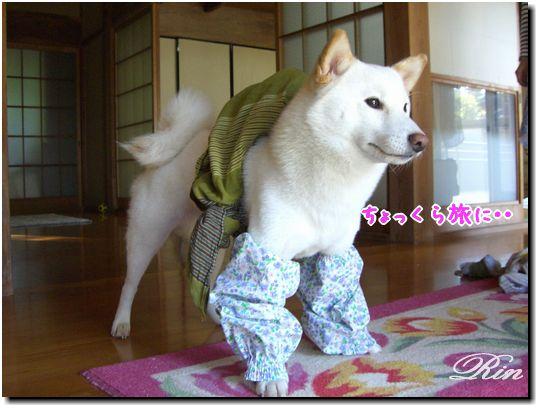 和装が似合う柴犬です♪