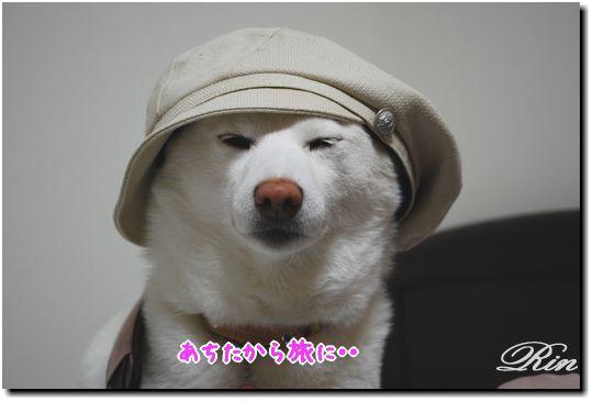 洋装も似合う柴犬です♪
