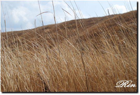 山焼き前の枯れ草