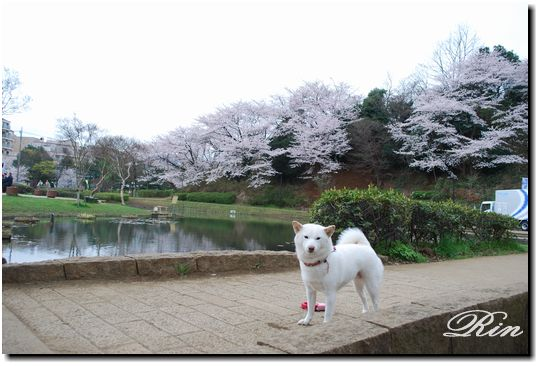 今朝もお花見散歩♪