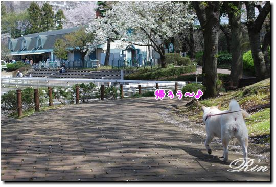 桜吹雪の中を帰ります~