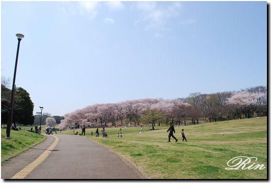 桜の広場が見えてきました~