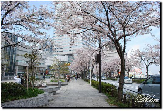 桜並木が綺麗!