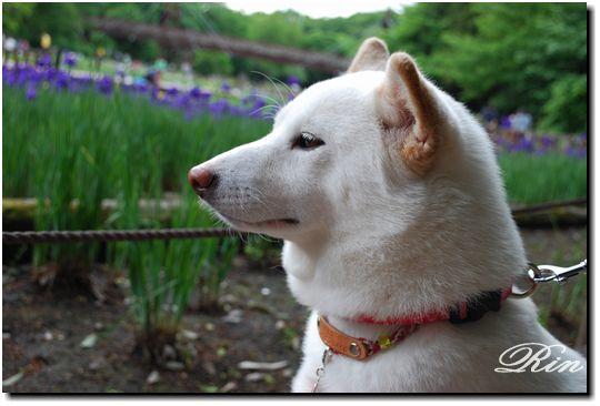 和犬とアヤメ2