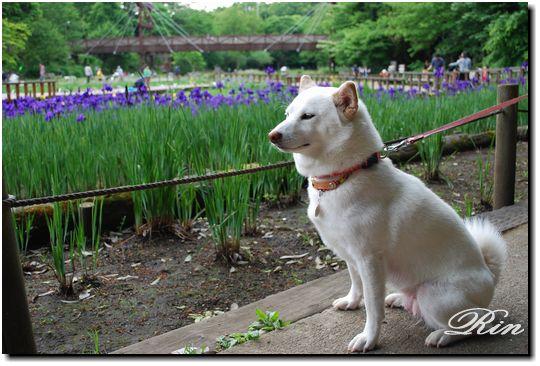 和犬とアヤメ3